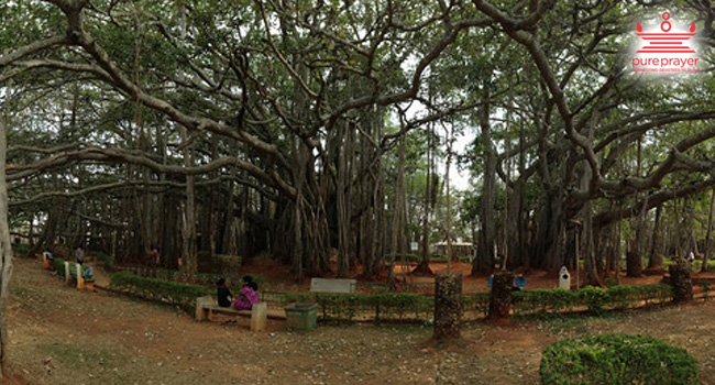 Big Banyana Tree / ದೊಡ್ಡ ಆಲದ ಮರ