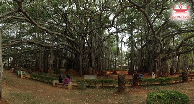 Big Banyan Tree / ದೊಡ್ಡ ಆಲದ ಮರ